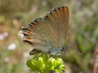 False Ilex Hairstreak